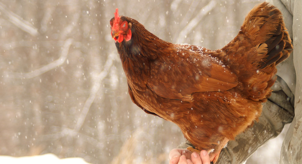 Choosing A Chicken Breed Red Tool House Lumber Company And